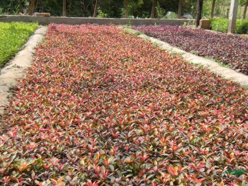 求购五色草-供应潍坊有品质的五色草