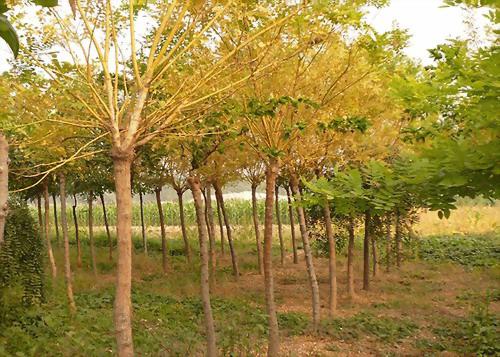 邢台金枝槐种植
