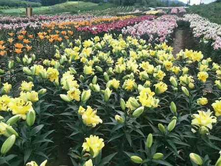 想觀賞百合切花-就來興旺中草藥,花美價廉