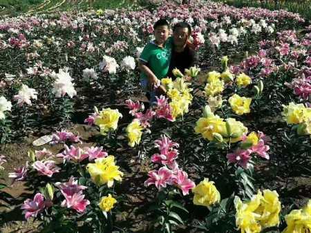 伊春白鲜皮籽厂家-白山实惠的观赏百合切花哪有卖