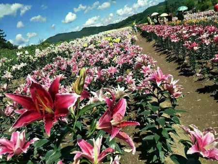 观赏百合种球的栽种方法你知道吗?