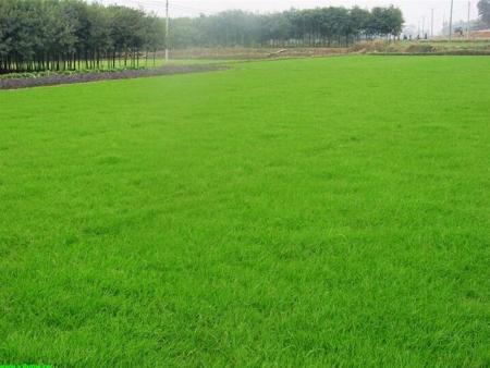 中卫草坪厂家-想要品质好的宁夏草坪就来宁夏荣昌绿化草坪