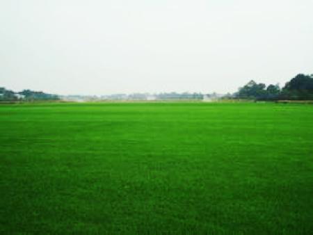 吴忠园林草坪|哪里能买到成活率高的宁夏草坪