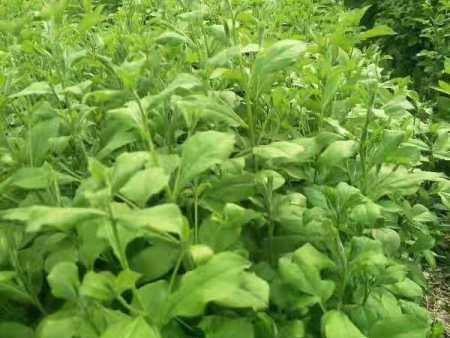 内蒙古苍术种子的栽培技术了解一下?