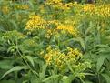 興旺中草藥帶您了解吉林返魂草籽特點!