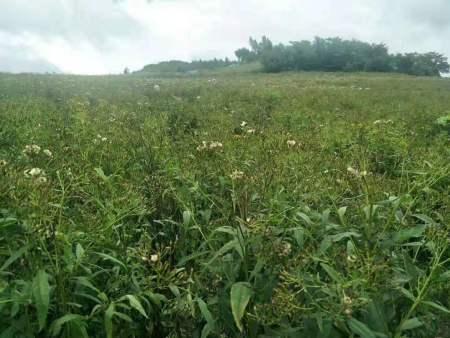 辽源返魂草苗哪家好-吉林哪里供应的返魂草籽价格优惠