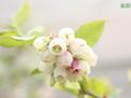 丹東藍莓苗哪家好?就找圣德伯瑞價格優惠