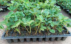 丹东草莓苗哪家好,东港圣德伯瑞农业培育技术强