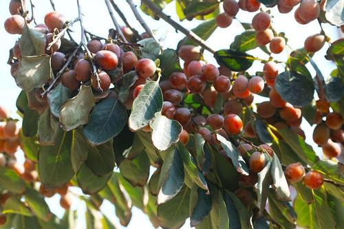 锦州软枣苗批发|优良软枣苗就在东港圣德伯瑞农业技术开发