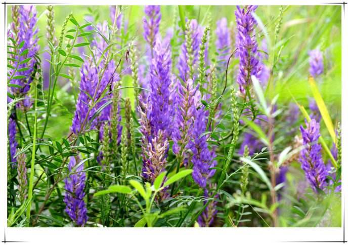 沙打旺猫尾草紫云英鸭茅种子
