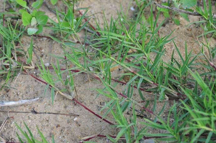 狗牙根野牛草草地早熟禾混播种子