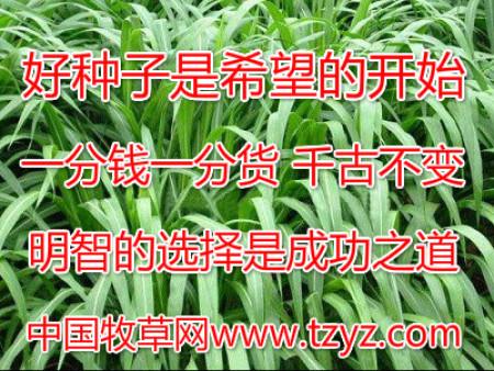适合养猪的牧草怎么???中国牧草网给你答案!