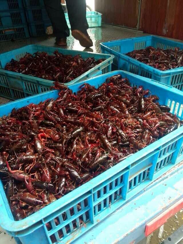 小龙虾虾苗价格养殖技术服务