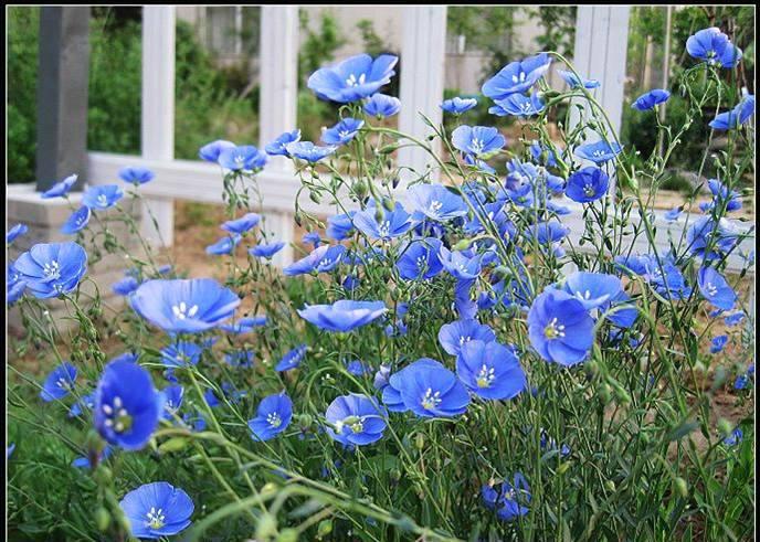 蓝亚麻马鞭草婆婆纳紫松果菊种子