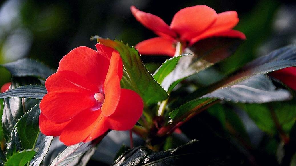 凤仙百日草异果菊金鸡菊种子