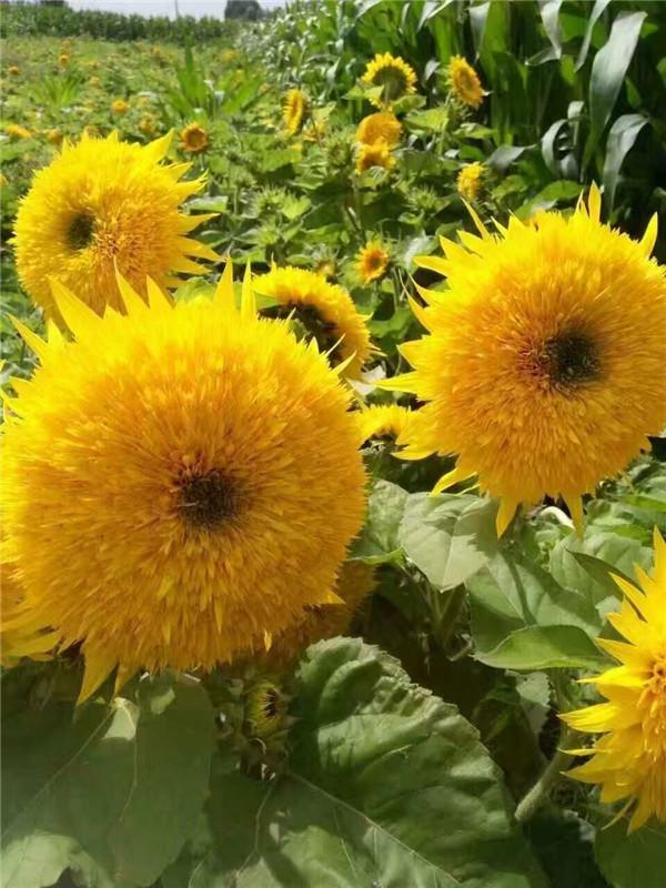 向日葵花菱草春黄菊蛇目菊种子