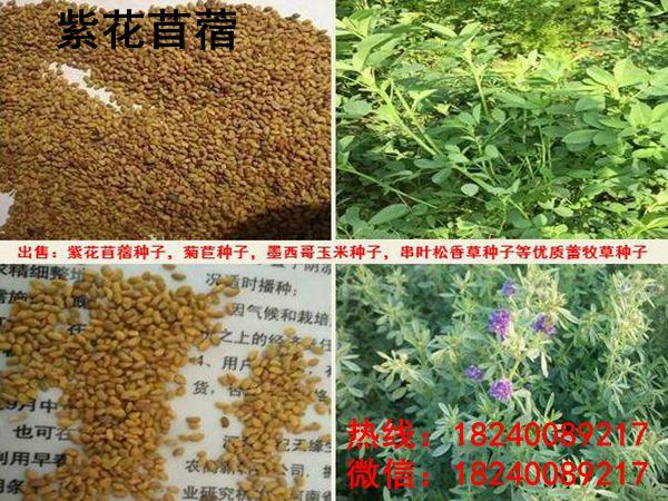 四川省種什么草養羊好-適合四川種植的牧草有哪些