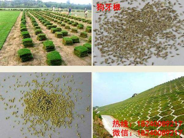 哪里有卖绿化草草籽的-草坪找山东?;忠礯品种优良