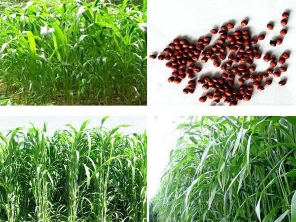 高丹草种子价格
