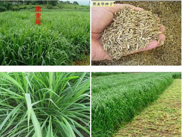 一年生黑麦草种子价格