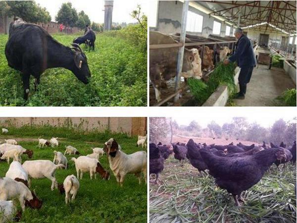适合养羊的牧草
