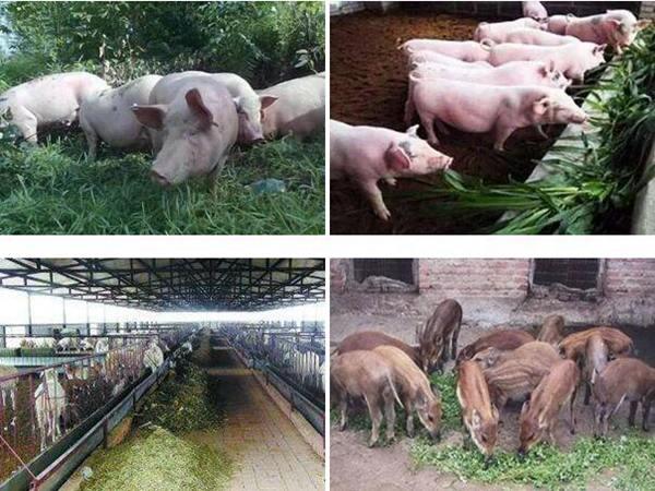 适合养猪的牧草