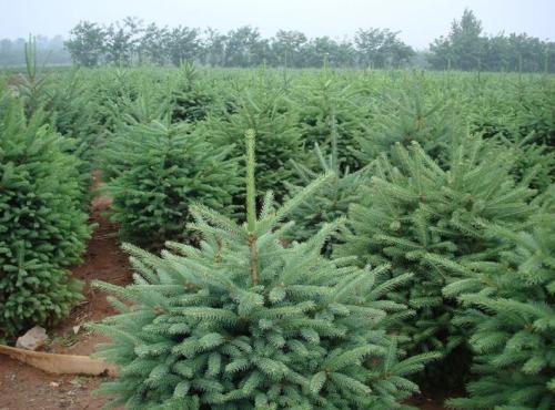 西北云杉苗木直销-哪里能买到超值的青海云杉