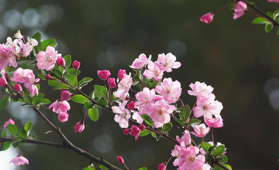 专业供应苗木种植垂丝海棠-批售苗木种植