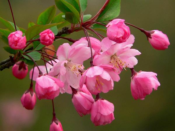 报价合理的苗木种植-哪里能买到品种好的苗木种植垂丝海棠