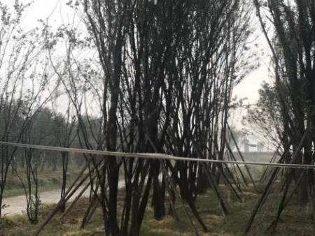 快来看,大型茶条槭大树,大规格茶条槭树,顺地