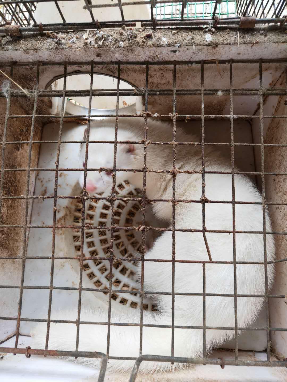 珠海水貂价格_供应各种规格水貂种苗