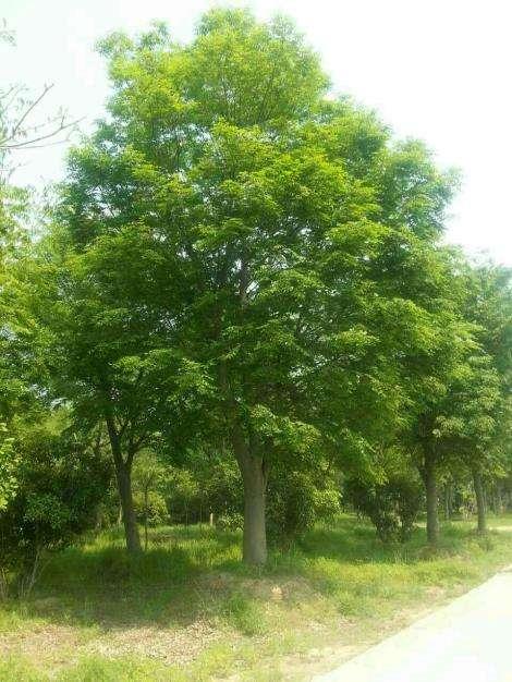 苗之春园林绿化有限公司_优良榉树供应商|易养植的榉树