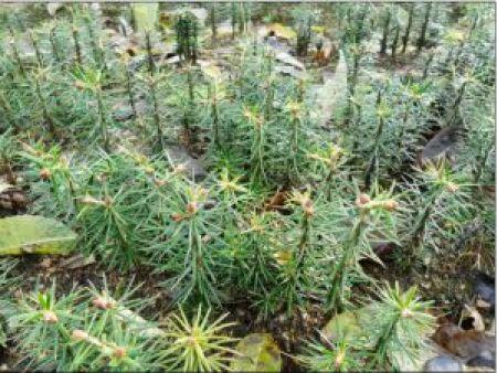 冷杉苗 大量出售冷杉