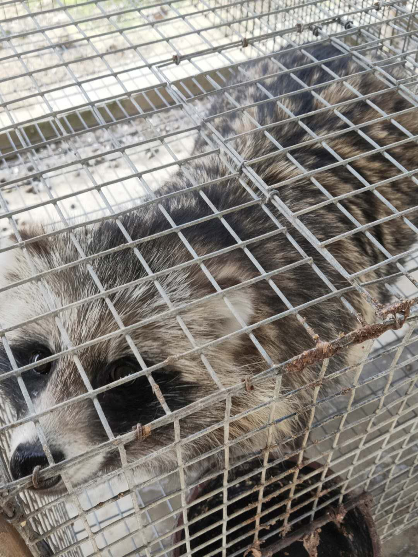 抚州哪里有狐狸种苗-好的狐狸种苗元农养殖供应