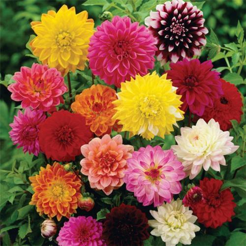小丽花-有品质的哪里有供应 小丽花