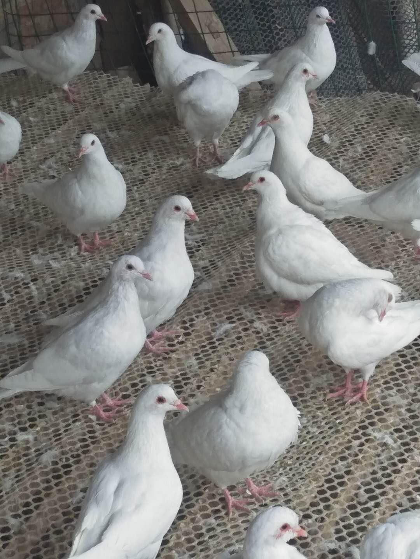 圆环鸽 供应各种规格米玛斯鸽子