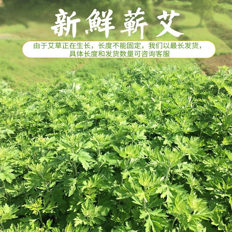 台湾艾苗种植-湖北艾苗基地哪家好