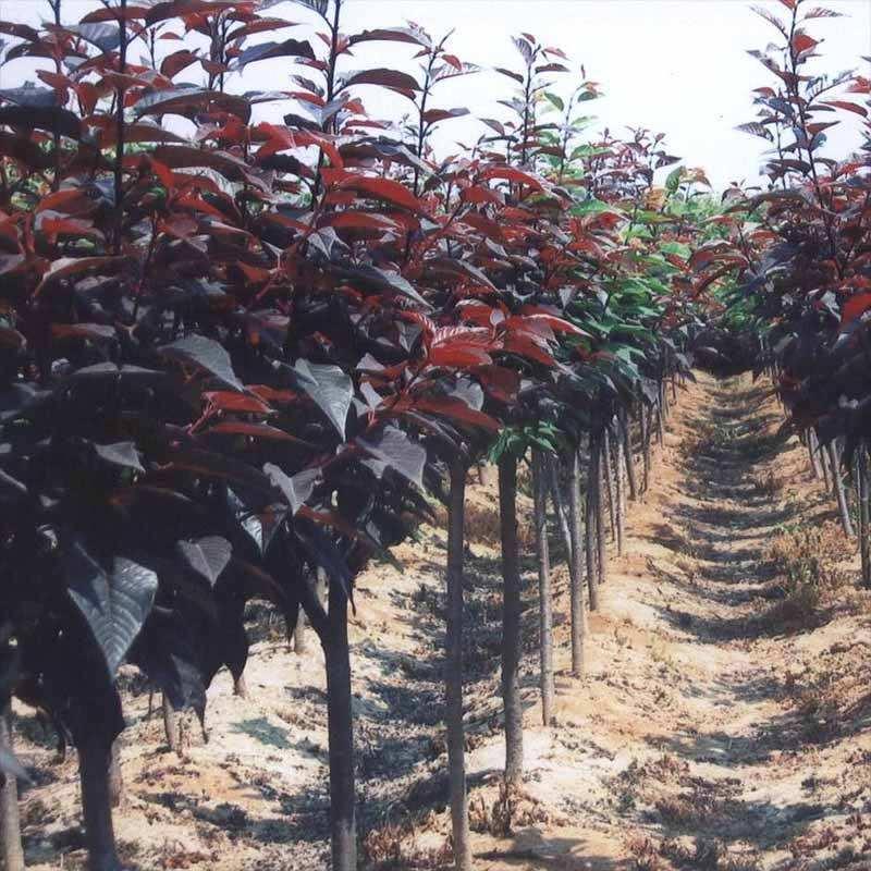 想买品种好的紫叶李上哪|哪里有紫叶李种植基地