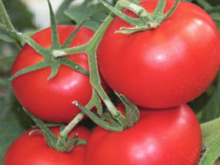 抗TY西红柿种子(叮咚)抗TY西红柿种苗(价格)