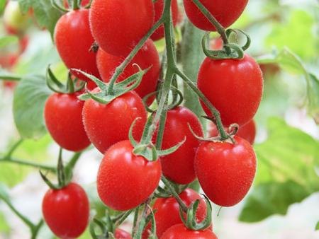 《农超对接—蔬菜购销》抗TY西红柿种子—恒大