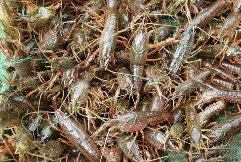 想买好的淡水小龙虾批发供应就到杜氏水产养殖基地 |4-6钱淡水小龙虾价格