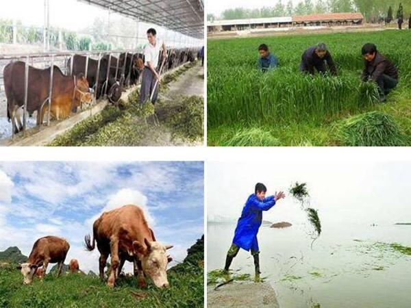 种一亩地牧草能养多少鱼-喂鱼牧草籽价格