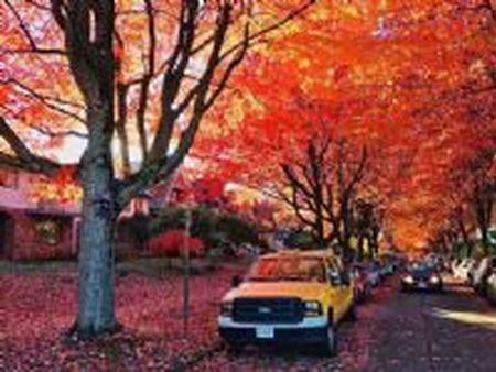 白城美国红枫品种_想要优良的美国红枫就来铁岭精诚苗木