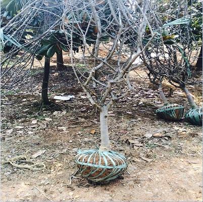 垂丝海棠供销-宿迁划算的垂柳供应