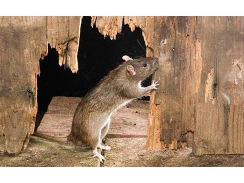 滅鼠服務咨詢_老鼠滅殺哪里有
