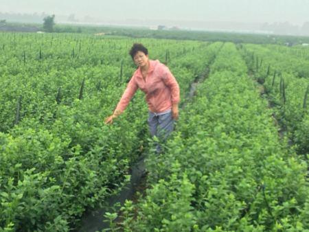 观山湖蓝莓苗_供应辽宁优良的蓝莓苗
