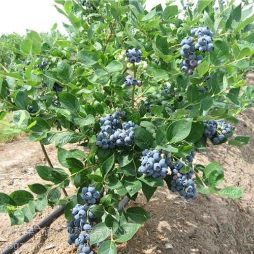 花溪明星蓝莓苗-明星蓝莓苗哪里有卖