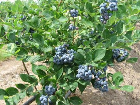 丹东蓝莓苗遇到霜害怎么办?