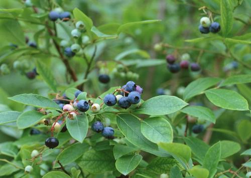 毕节莱克西蓝莓苗-丹东莱格西蓝莓苗价格行情