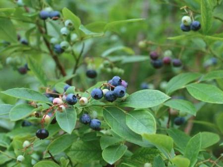 丹东蓝莓苗的施肥小知识,了解一下